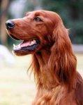 irish-setter-dog-pictures