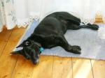 sleeping-black-dog1